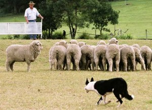 Having watched Babe about 6 million times, we think Sheepdog Trials are a sleeper sport.