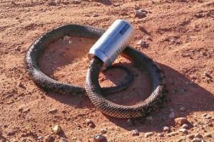 An indigenous beer snake